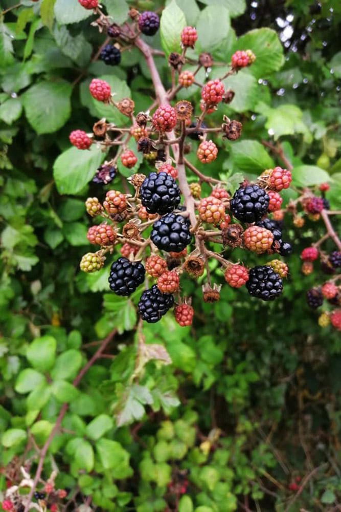 Norfolk Hedgerow